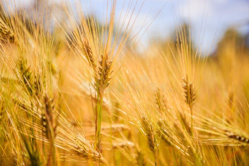 Campo de la agricultura: Oídos maduros del trigo, cosecha fotografía de archivo