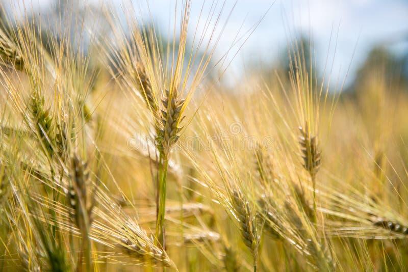 Campo de la agricultura: Oídos maduros del trigo, cosecha imagenes de archivo