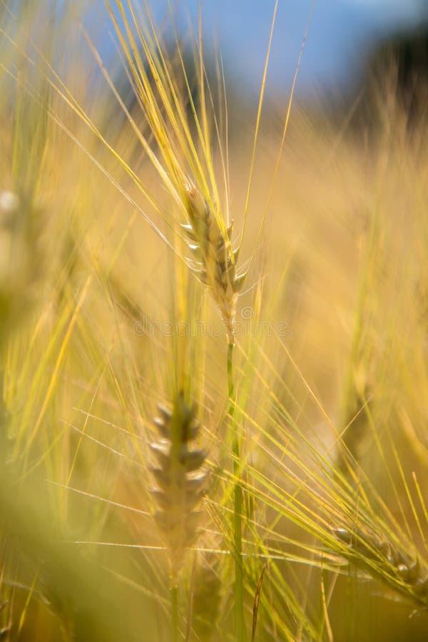 Campo de la agricultura: Oídos maduros del trigo, cosecha fotografía de archivo libre de regalías