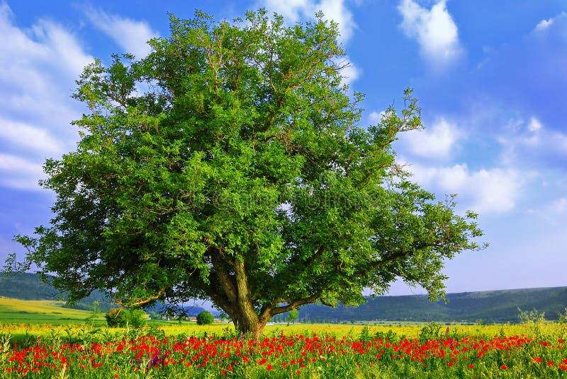 Campo de la amapola, cielo azul y árbol verde grande 2 foto de archivo