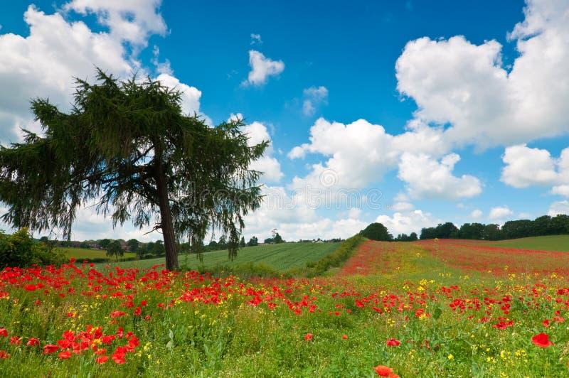 Campo de la amapola del verano foto de archivo libre de regalías