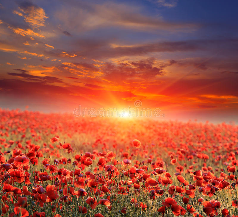 Campo de la amapola en puesta del sol fotografía de archivo libre de regalías