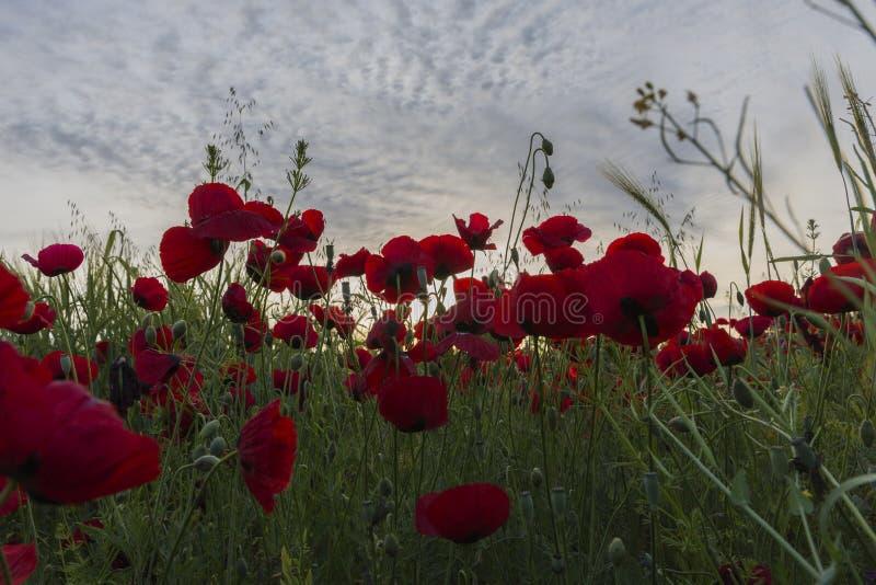 Campo de la amapola en la puesta del sol del día imagen de archivo libre de regalías