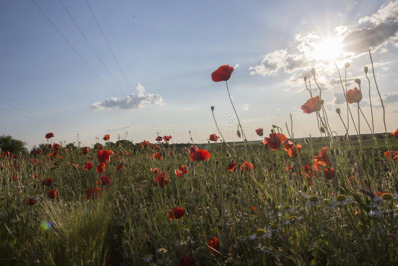 Campo de la amapola en sol imagenes de archivo