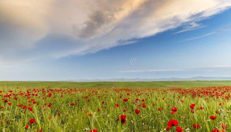 Campo de la amapola en una de las regiones de Azerbaijan fotos de archivo