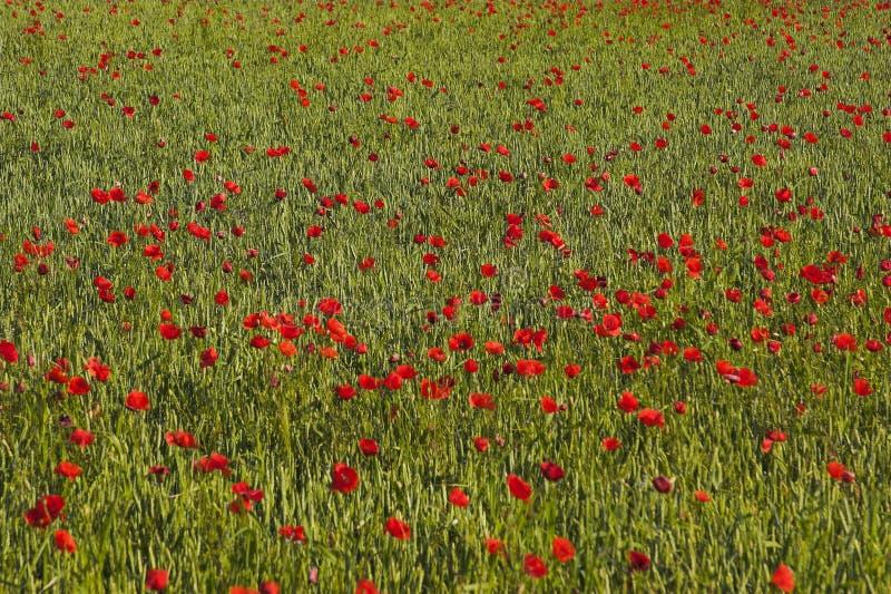 Campo de la amapola - rojo imagen de archivo