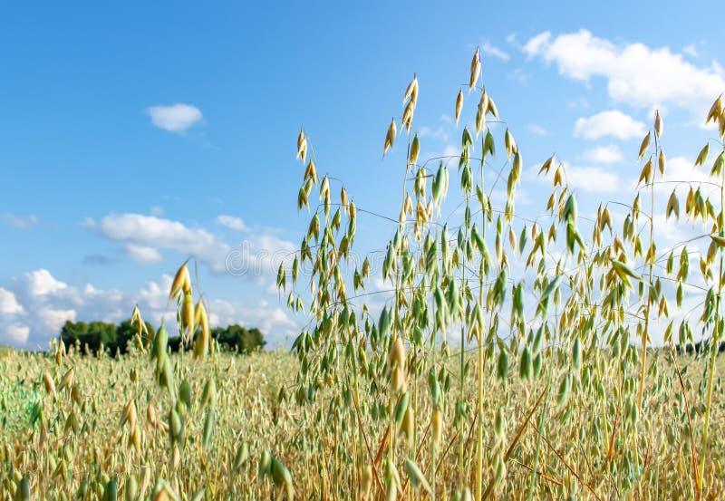 Campo de la avena delante de un cielo azul en día soleado Estaci?n de la cosecha fotos de archivo libres de regalías