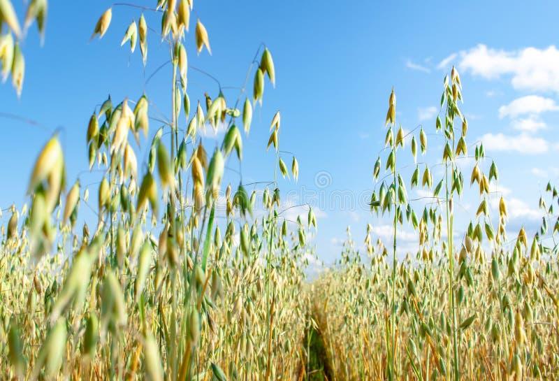 Campo de la avena delante de un cielo azul en día soleado Estaci?n de la cosecha imagenes de archivo