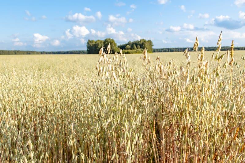 Campo de la avena delante de un cielo azul en día soleado Estaci?n de la cosecha fotografía de archivo libre de regalías