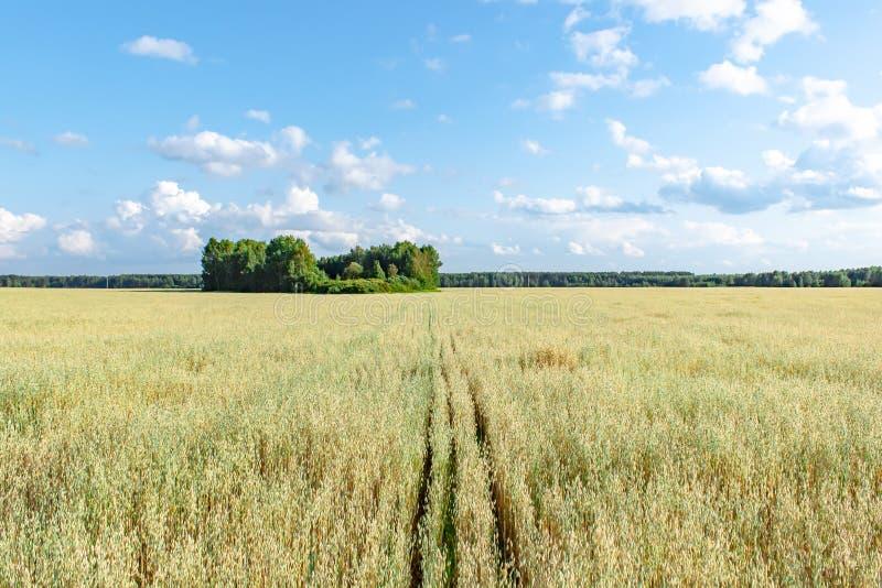 Campo de la avena delante de un cielo azul en día soleado Estaci?n de la cosecha imágenes de archivo libres de regalías
