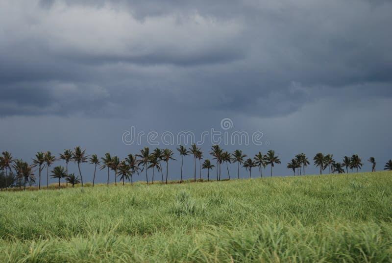 Download Campo De La Caña De Azúcar En Mauricio Imagen de archivo - Imagen de indio, sugarcane: 41900613