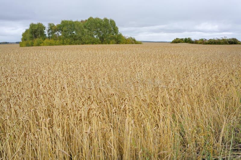 Campo de la capa del arado con el maíz en el oído fotos de archivo