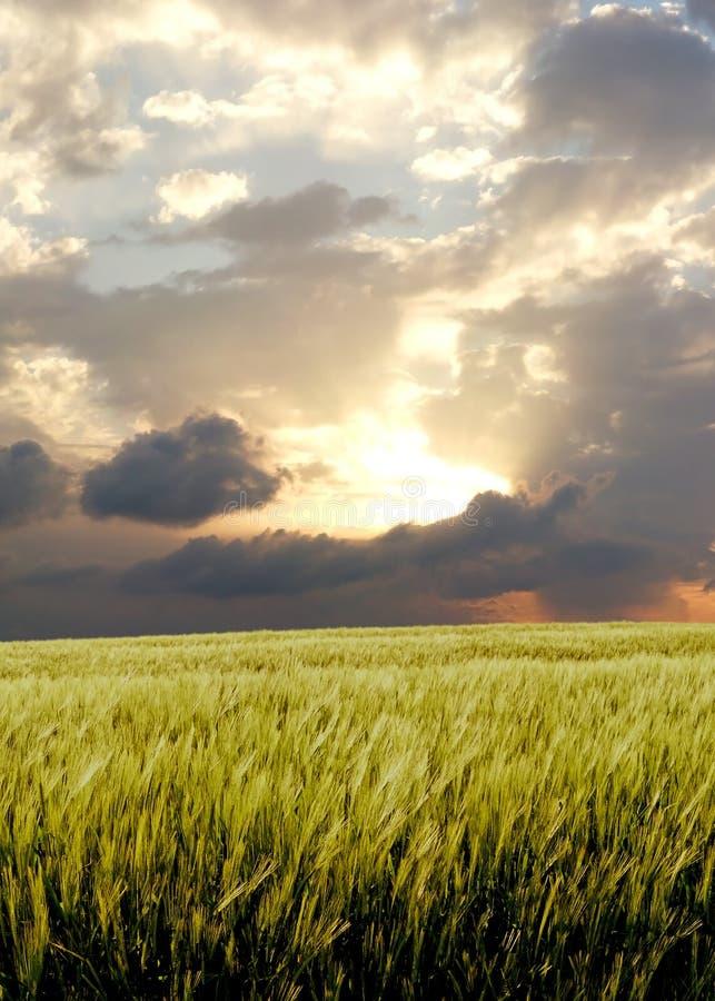 Campo de la cebada durante día tempestuoso fotos de archivo