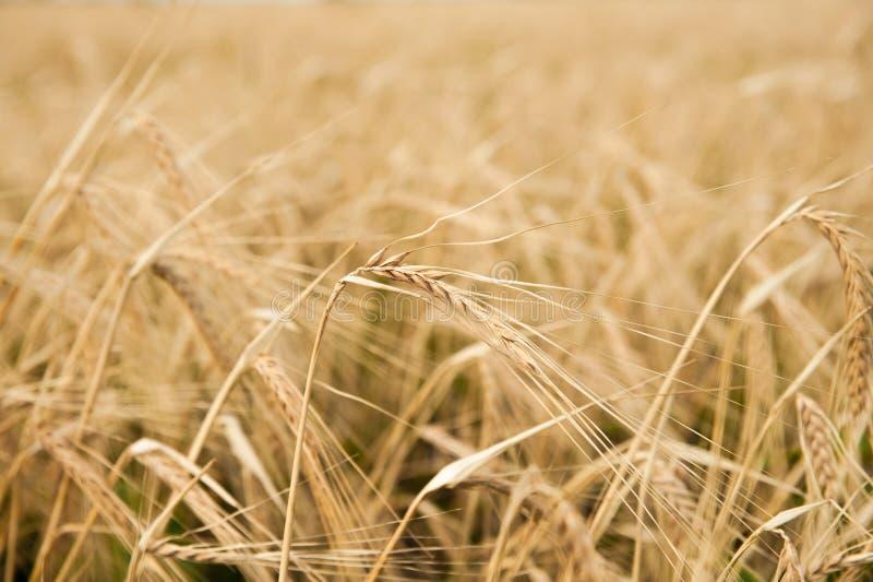 Campo de la cebada en la luz del sol imagen de archivo