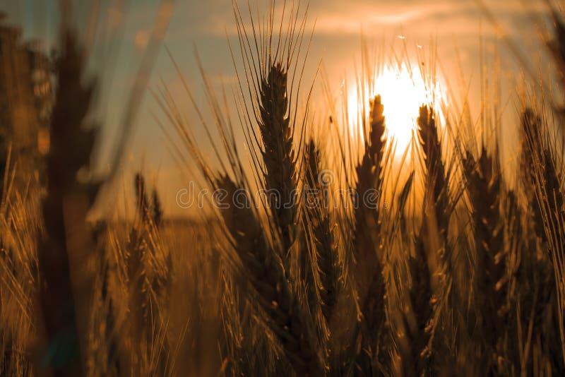 Campo de la cebada en tiempo de la puesta del sol imagen de archivo