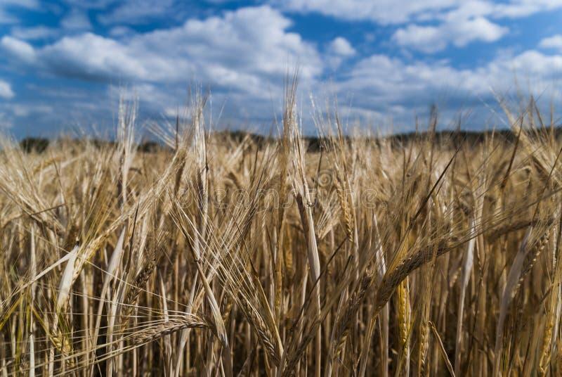 Campo de la cebada y cielo azul con las nubes imagen de archivo