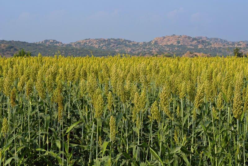 Campo de la cosecha o de la zahína de Jowar fotos de archivo