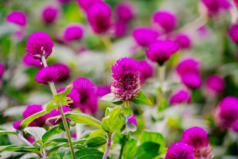 Campo de la flor púrpura del amaranto de globo en jardín fotos de archivo