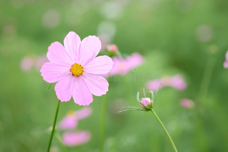 Campo de la flor rosada floreciente del cosmos foto de archivo libre de regalías