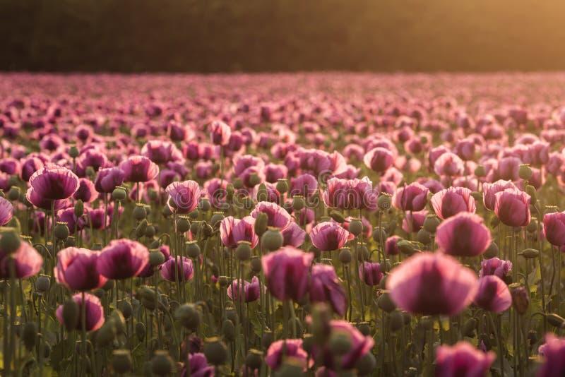 Campo de la lila Poppy Flowers en puesta del sol a principios de verano imagenes de archivo