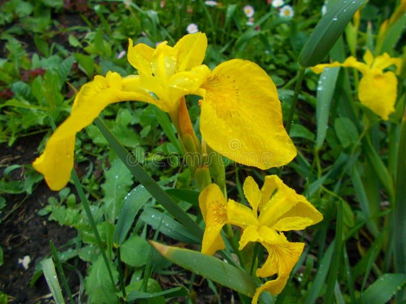 Campo de la lluvia de la flor del iris amarillo foto de archivo libre de regalías