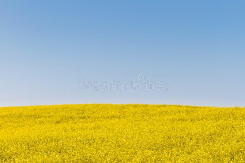 Campo de la mostaza y cielo azul fotos de archivo