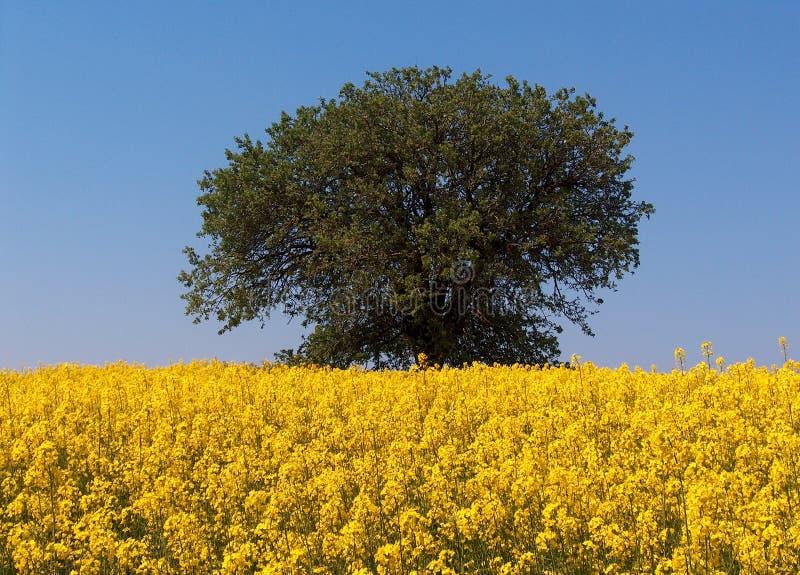 Campo de la mostaza y un árbol imagen de archivo libre de regalías