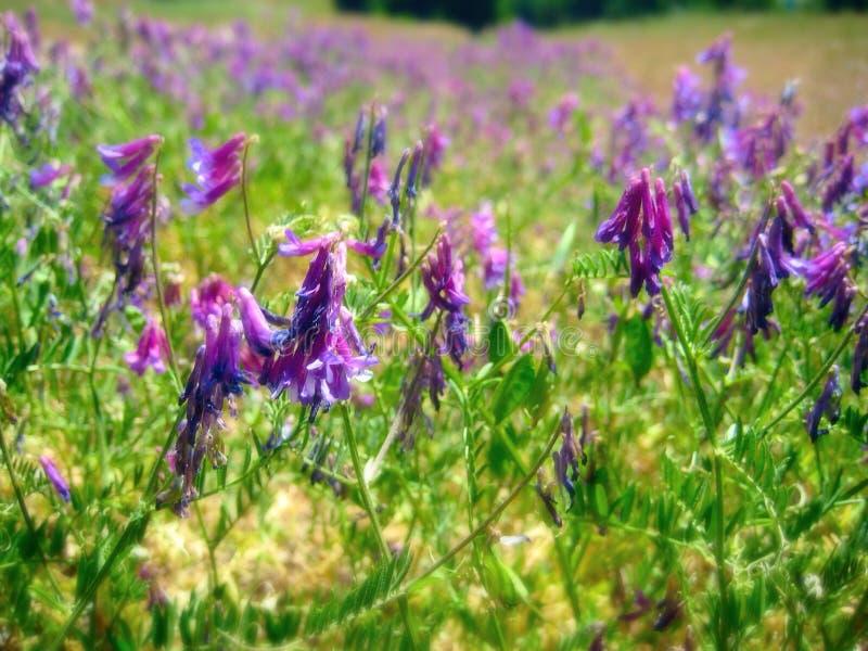 Campo de la púrpura imagen de archivo