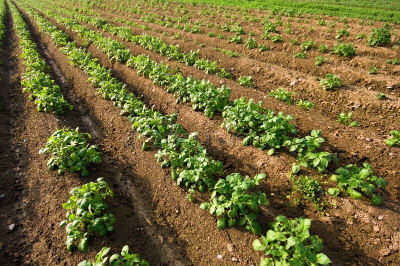 Campo de la patata imagen de archivo