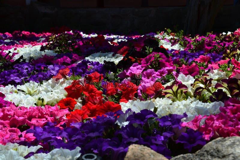 Campo de la petunia por la playa en Sardegna Italia imagen de archivo libre de regalías