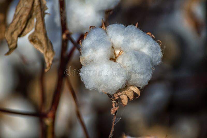 Campo de la planta de algodón de Pima foto de archivo