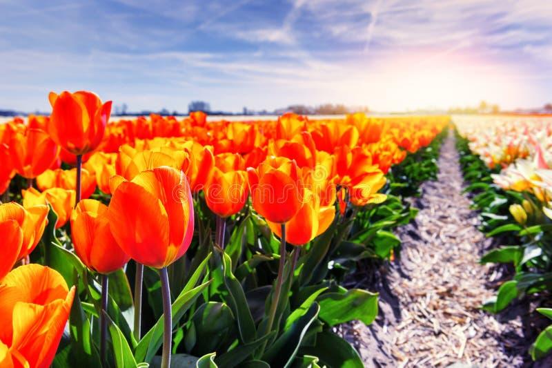 Campo de la primavera con la floración tulipanes rojos y anaranjados foto de archivo libre de regalías