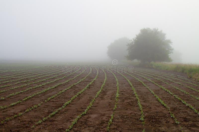 Campo de la soja en la niebla de la madrugada imágenes de archivo libres de regalías