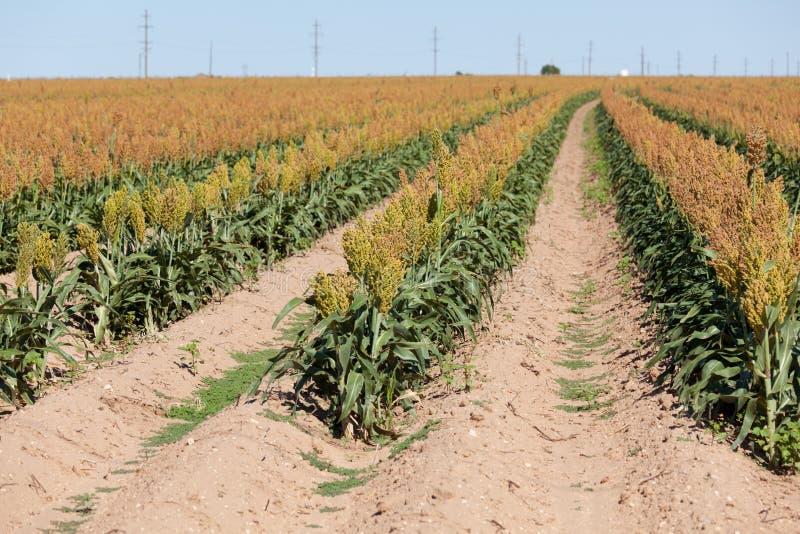 Campo de la zahína de grano o de la cosecha del milo en Tejas del oeste foto de archivo