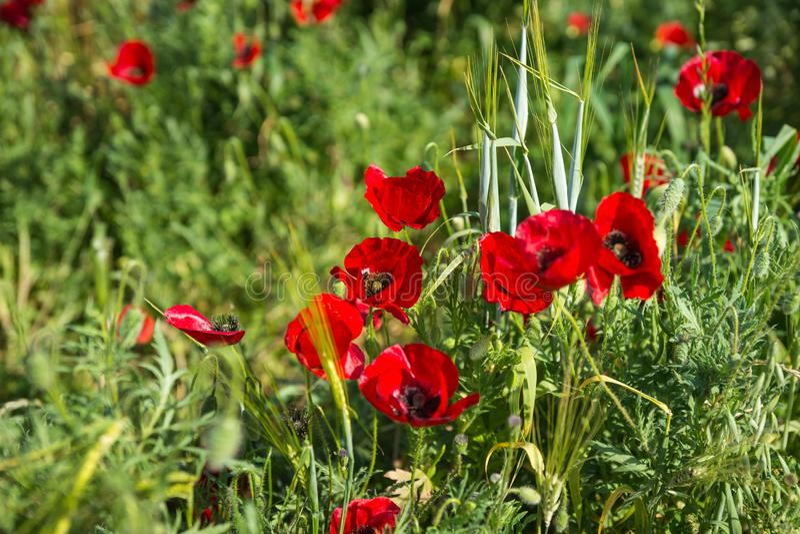 Campo de las amapolas coloridas de la primavera en Peloponeso en Grecia fotografía de archivo libre de regalías