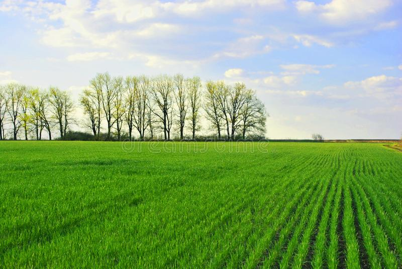 Campo de las filas verdes del centeno del trigo al borde de la línea de robles, cielo soleado nublado, primavera imágenes de archivo libres de regalías