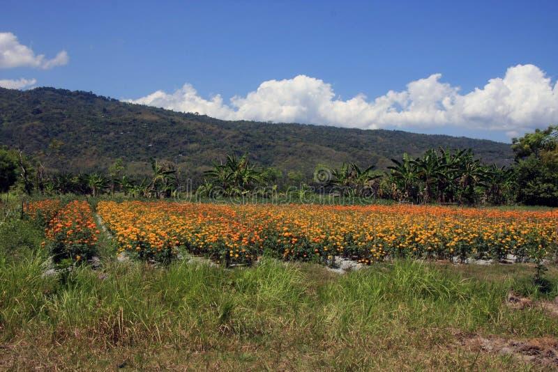 Campo de las flores de la maravilla en Bali rural fotos de archivo