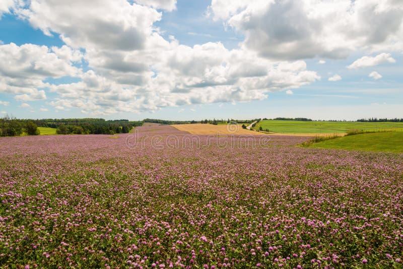 Campo de las flores del trébol en la floración imagenes de archivo