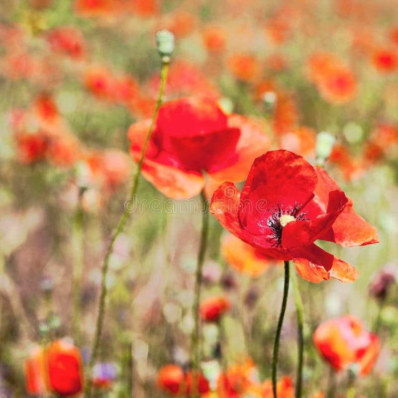 Campo de las flores rojas brillantes de la amapola de maíz imágenes de archivo libres de regalías