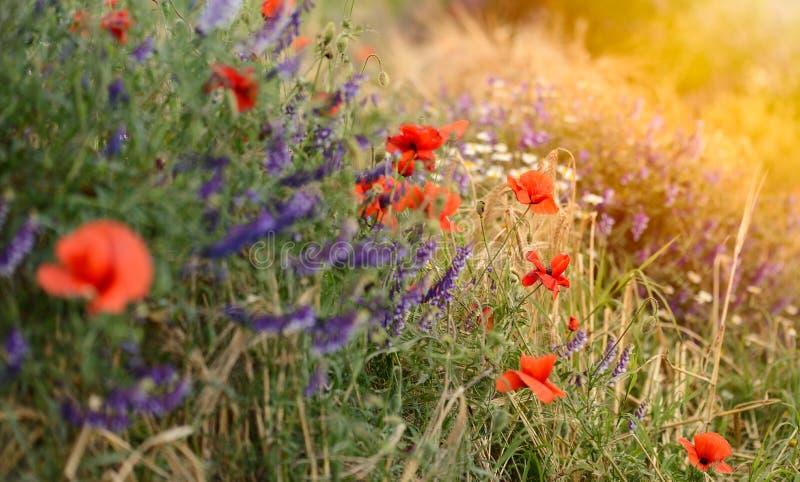 Campo de las flores rojas brillantes de la amapola de maíz fotografía de archivo