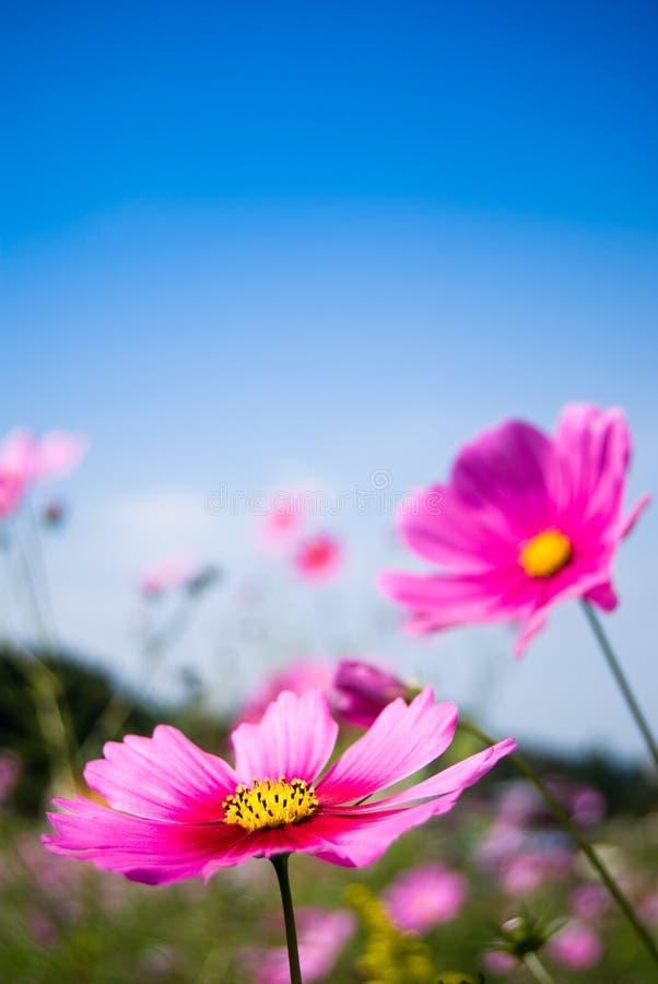 Download Campo De Las Flores Rosadas Del Cosmos Y Del Cielo Azul Foto de archivo - Imagen de salvaje, verano: 7151292