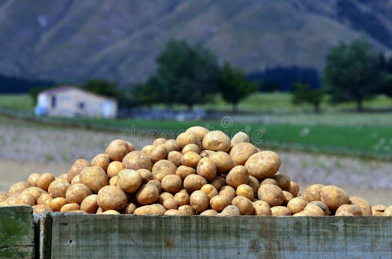 Campo de las patatas imagen de archivo libre de regalías