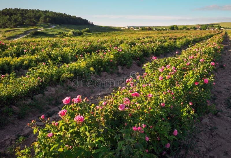 Campo de las rosas de damasco rosadas florecientes imagen de archivo