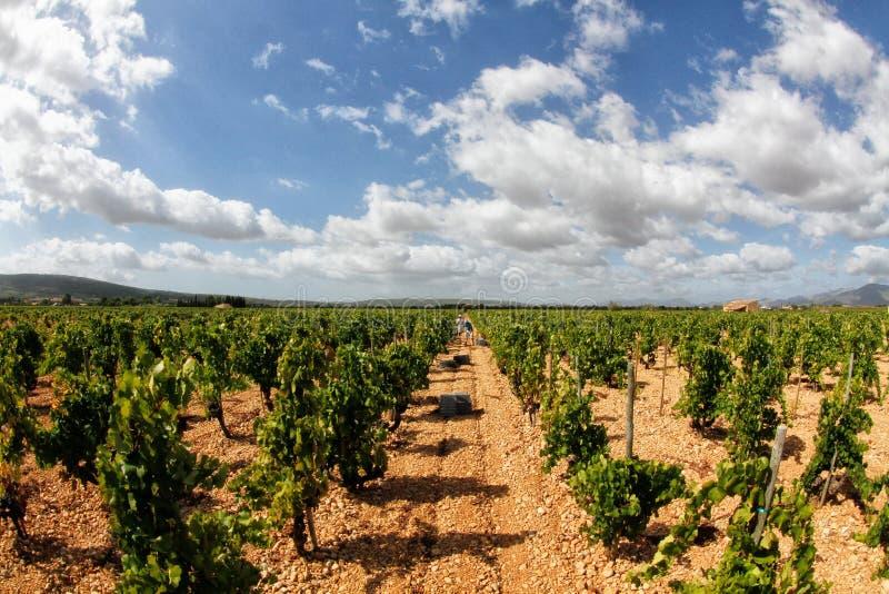 Campo de las uvas del viñedo foto de archivo
