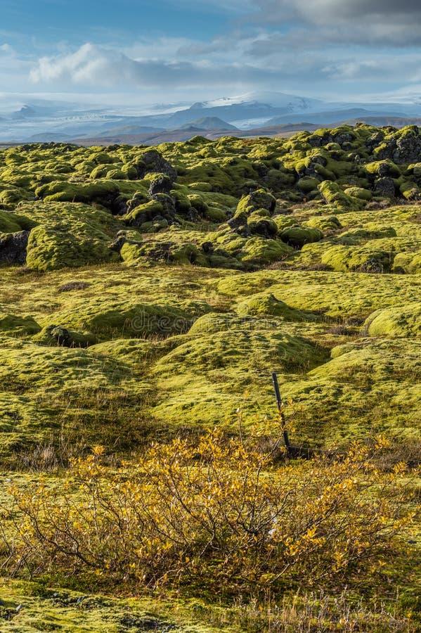 Campo de lava de Grindavik en Islandia que cubre por el musgo verde con primero plano de la planta y fondo amarillos de la montañ imagen de archivo libre de regalías