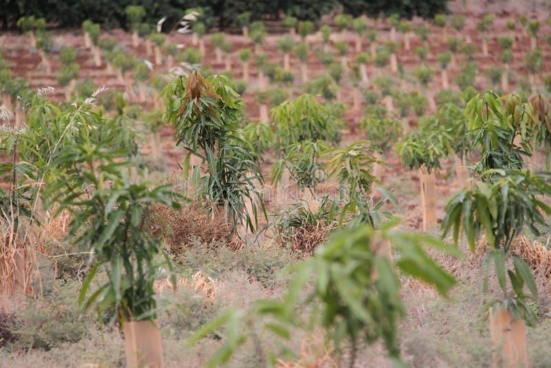 Campo de los árboles de mango jovenes imagen de archivo