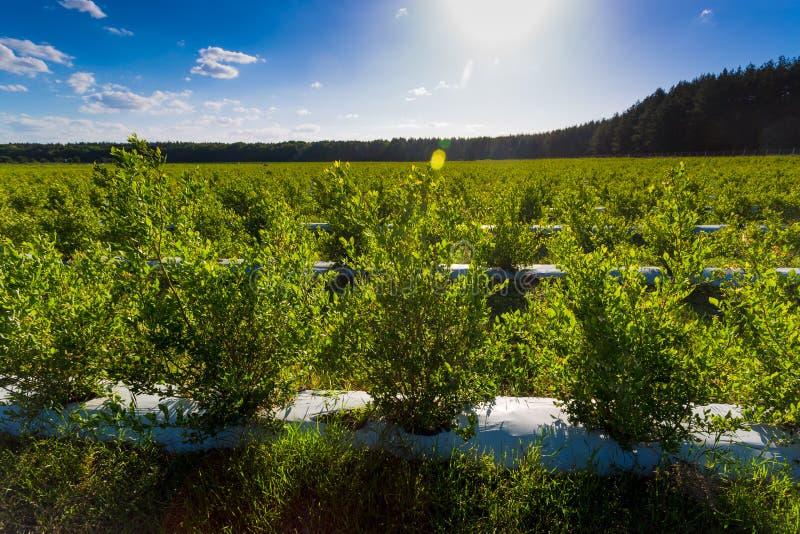 Campo de los arándanos, arbustos con las bayas futuras contra el cielo azul Granja con las bayas foto de archivo