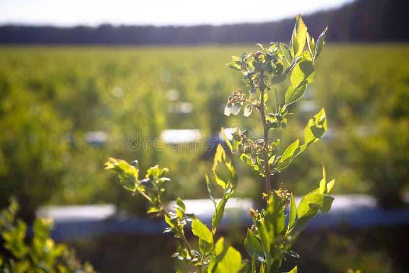 Campo de los arándanos, arbustos con las bayas futuras contra el cielo azul Granja con las bayas fotos de archivo