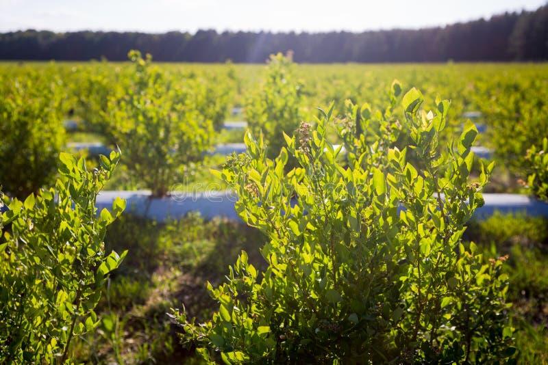 Campo de los arándanos, arbustos con las bayas futuras contra el cielo azul Granja con las bayas imagen de archivo