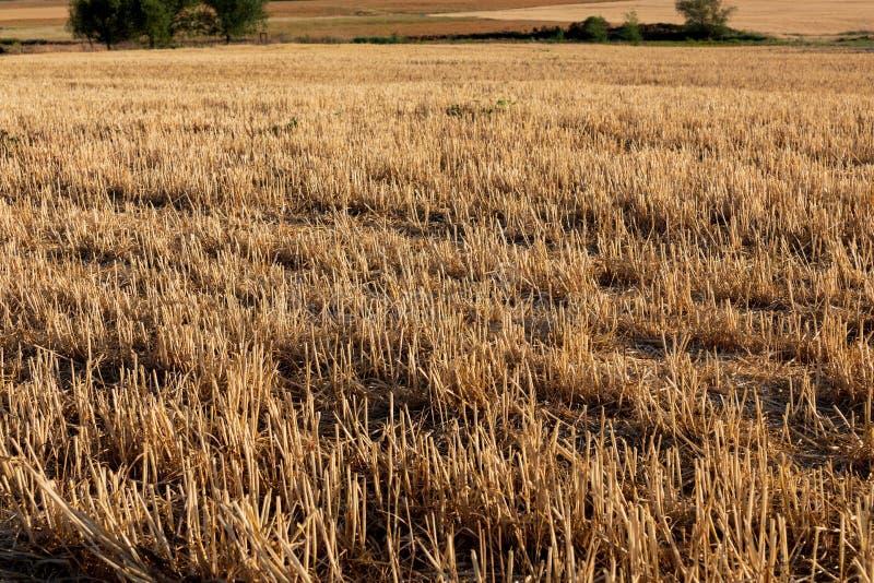 Campo de los cereales trigo, cebada, avena imagen de archivo libre de regalías